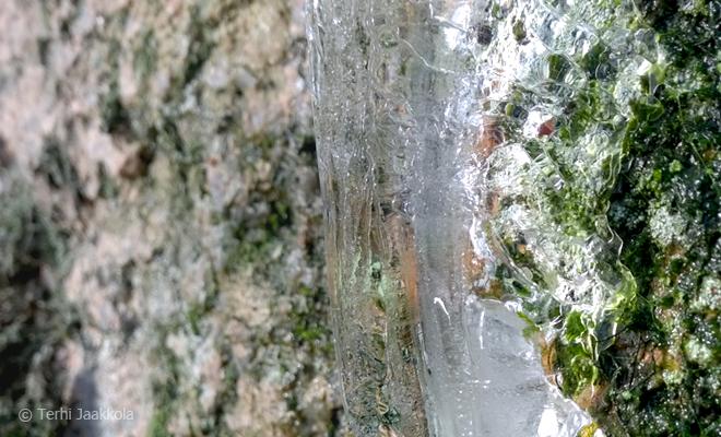 Jääpuikko. Kuva: Terhi Jaakkola