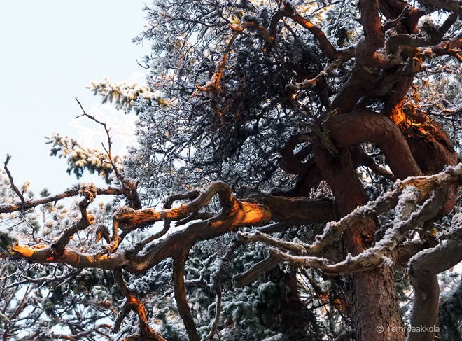 Pisan puu Kuva: Terhi Jaakkola